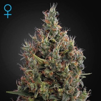 Big Bang Autoflowering (Greenhouse Seeds) feminisiert