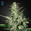 Super Critical Autoflowering (Greenhouse Seeds) feminisiert