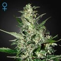 Super Critical Autoflowering (Greenhouse Seeds) feminisiert