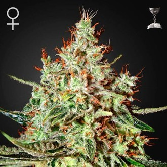 K-Train (Greenhouse Seeds) feminisiert