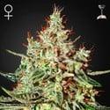 K-Train (Greenhouse Seeds) feminisiert