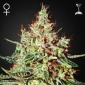 K-Train (Greenhouse Seeds) feminized