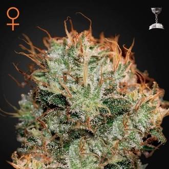 Kaia Kush (Greenhouse Seeds) femminizzata