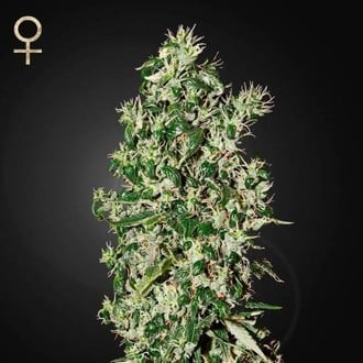Big Tooth (Strain Hunters) feminized