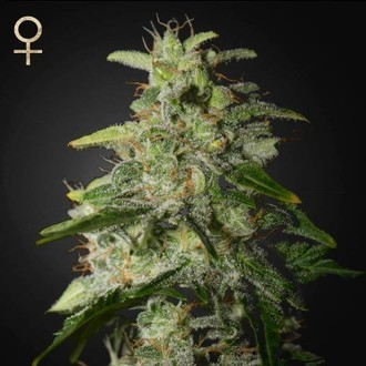 Money Maker (Strain Hunters) feminisiert