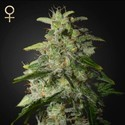 Money Maker (Strain Hunters) feminized