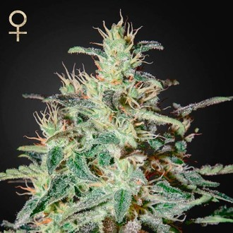 White Lemon (Strain Hunters) feminized