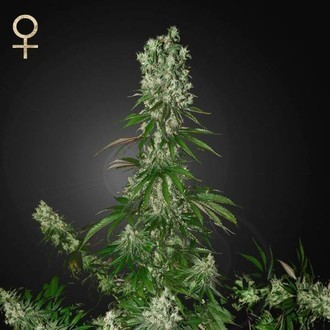 White Strawberry Skunk (Strain Hunters) feminisiert