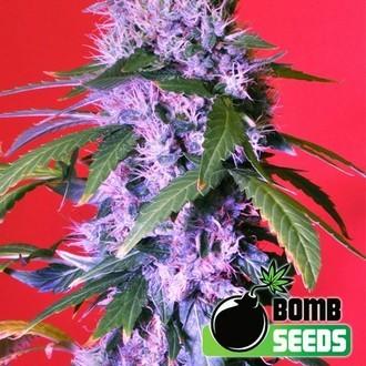 Berry Bomb Auto (Bomb Seeds) feminisiert