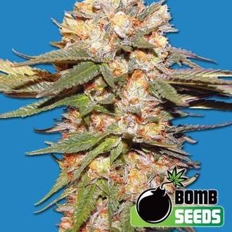 Big Bomb Auto (Bomb Seeds) feminisiert