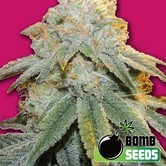 Bubble Bomb (Bomb Seeds) feminisiert