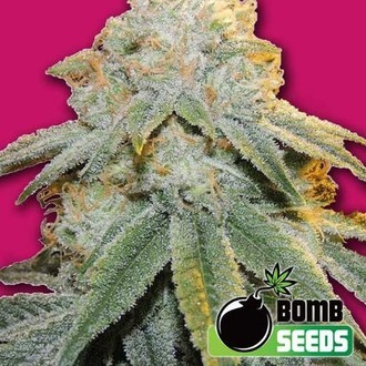 Bubble Bomb (Bomb Seeds) feminisiert