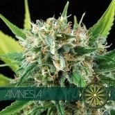 Amnesia (Vision Seeds) femminizzato