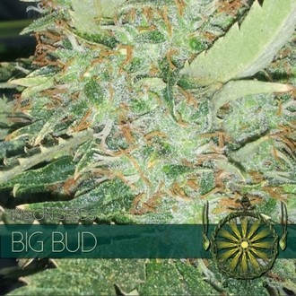 Big Bud (Vision Seeds) femminizzato