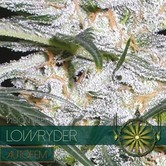 Lowryder (Vision Seeds) femminizzato