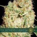 Northern Lights (Vision Seeds) femminizzato