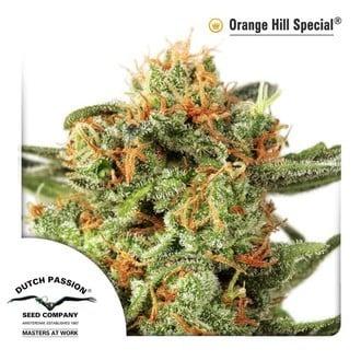 Orange Hill Special (Dutch Passion) feminisiert