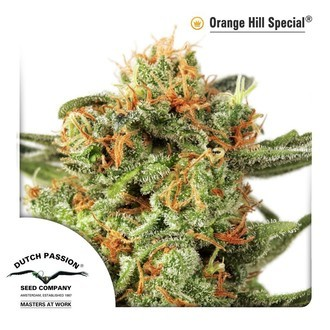 Orange Hill Special (Dutch Passion) femminizzata