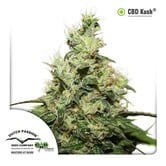 CBD Kush (Dutch Passion) feminisiert