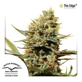 The Edge (Dutch Passion) feminized