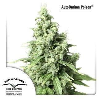 Auto Durban Poison (Dutch Passion) feminisiert