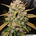 AutoDurban Poison (Dutch Passion) feminized