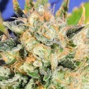 Critical Diesel Auto (Original Sensible Seeds) feminized