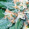 Super Skunk (Vision Seeds) feminized