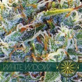 White Widow (Vision Seeds) feminisiert