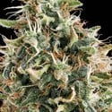 White Widow (Vision Seeds) femminizzato