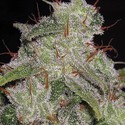 Northern Lights Autoflowering (Vision Seeds) feminized