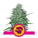 Skunk XL (Royal Queen Seeds) feminized