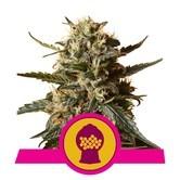 Bubblegum XL (Royal Queen Seeds) feminisiert