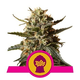Bubblegum XL (Royal Queen Seeds) feminisiert