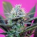 + Speed Auto (Sweet Seeds) femminizzata