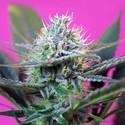 + Speed Auto (Sweet Seeds) feminisiert