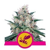 Honey Cream - Fast Flowering (Royal Queen Seeds) femminizzata