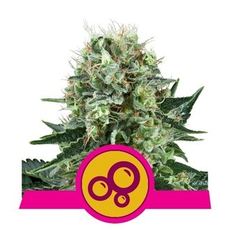 Bubble Kush (Royal Queen Seeds) femminizzata