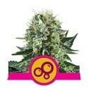 Bubble Kush (Royal Queen Seeds) feminisiert