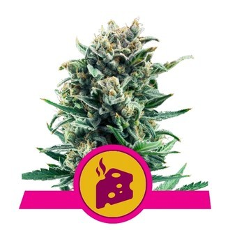 Blue Cheese (Royal Queen Seeds) feminisiert
