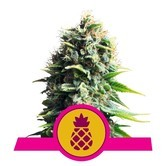 Pineapple Kush (Royal Queen Seeds) feminisiert