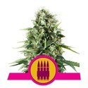 Royal AK (Royal Queen Seeds) feminisiert