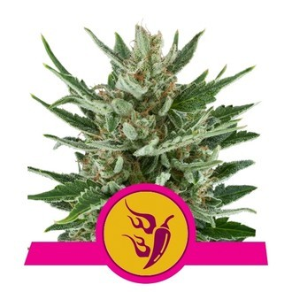 Speedy Chile - Fast Flowering (Royal Queen Seeds) feminisiert