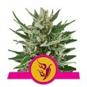 Speedy Chile - Fast Flowering (Royal Queen Seeds) feminisiert