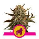 Mother Gorilla (Royal Queen Seeds) feminized