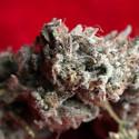 O'Haze Red (Reggae Seeds) femminizzata