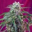 Green Poison Auto (Sweet Seeds) femminizzata