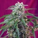 Green Poison Auto (Sweet Seeds) feminisiert