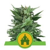 Royal Kush Automatic (Royal Queen Seeds) feminisiert
