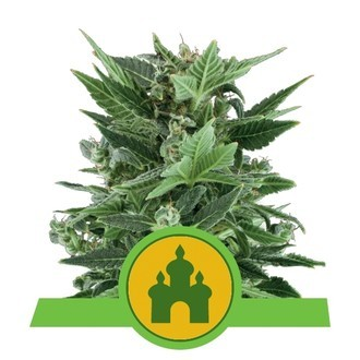 Royal Kush Automatic (Royal Queen Seeds) feminized